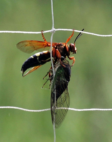 Cicada killer with subdued cicada (photo from Wikimedia Commons)