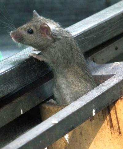 House mouse (photo via Wikimedia Commons)