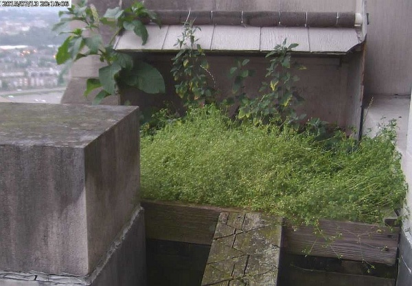 Weeds at the Gulf Tower peregrine nest, July 2015 (photo from the National Aviary falconcam at Gulf Tower)