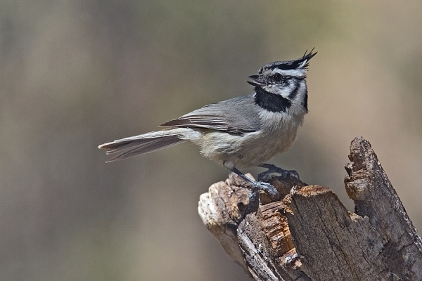 Bridled titmouse (photo from Wikimedia Commons)