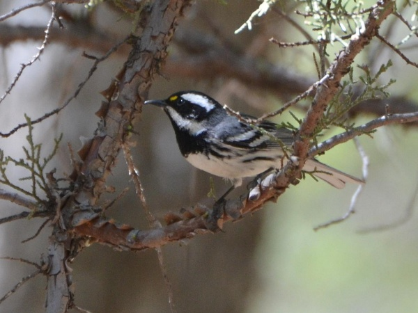 Black-throated gray warbler (photo from Wikimedia Commons)
