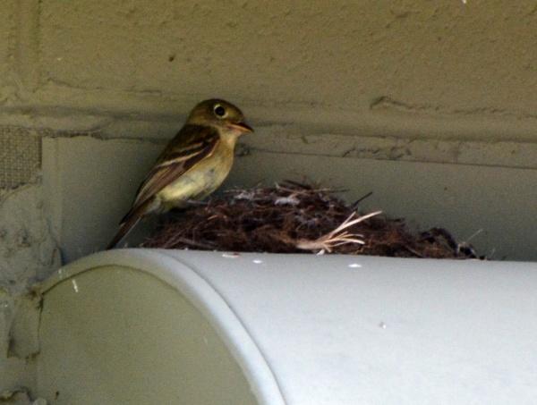 Cordilleran flycatcher at nest, Mount Lemmon, AZ (photo by Donna Memon)