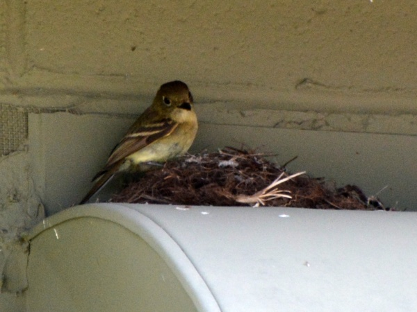 Cordilleran flycatcher at the nest, Mount Lemmon, AZ (photo by Donna Memon)