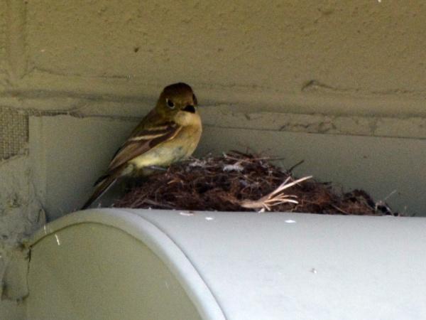 Cordilleran flycatcher at the nest, Mount Lemmon, AZ (photo by Donna Memon)