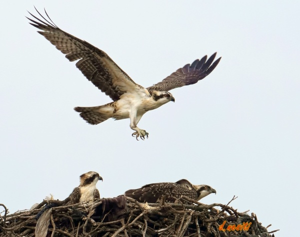 Immature osprey flying over the Duquesne nest (photo by Dana Nesiti)