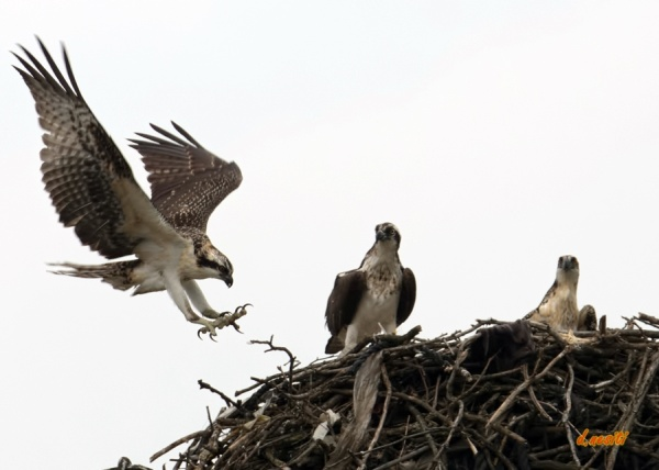 Immature osprey coming in for a landing at the Duquesne nest (photo by Dana Nesiti)