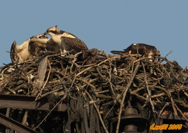 """Give it to me!"" juvenile osprey grabs his sibling's wing to get the fish (photo by Dana Nesiti)"