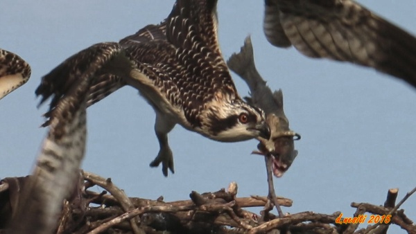 Juvenile osprey flies off with the prize -- a live fish (photo by Dana Nesiti)