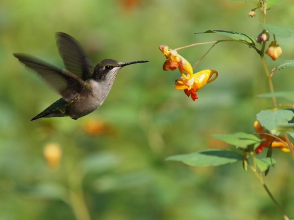 Ruby-throated hummingbird in Schenley Park, August 2015 (photo by Soji Yamakawa)