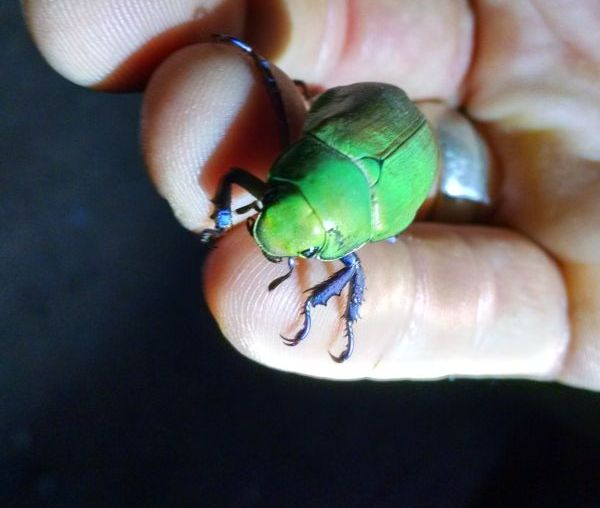 Scarab Beetle (Chrysina beyeri) at Carr Canyon, Arizona, 30 July 2015 (photo by Kate St. John)