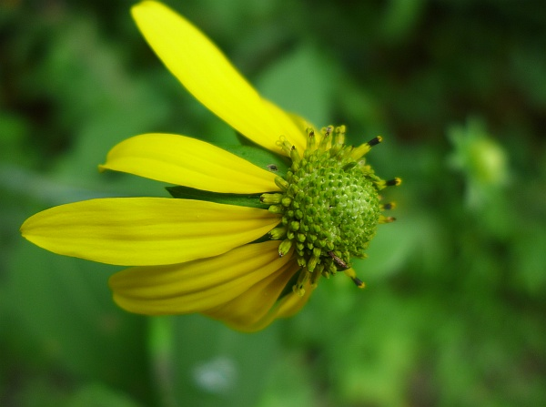 Green-headed coneflower (photo by Kate St. John)
