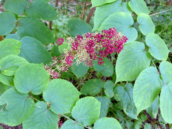 American spikenard, Schenley Park, August 2015 (photo by Kate St. John)