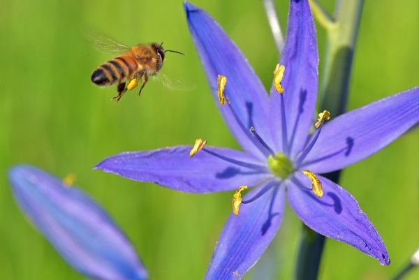 Honey bee at camas (photo from Wikimedia Commons)