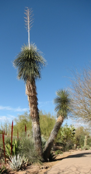 Soaptree yucca (photo from Wikimedia Commons)