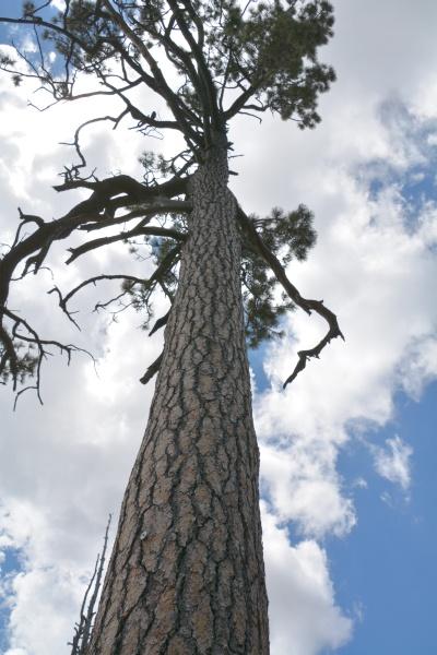 Ponderosa pine on Mt Lemmon, Arizona (photo by Donna Memon)