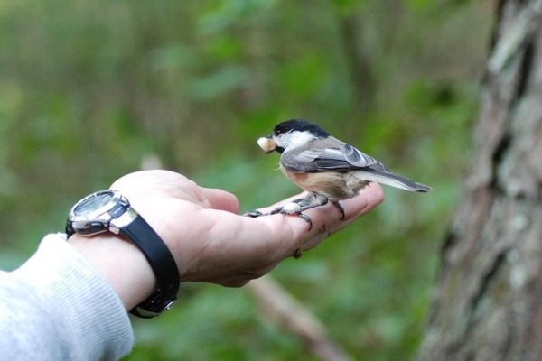 Balck-capped chickadee takes a peanut from my hand (photo by Donna Foyle)