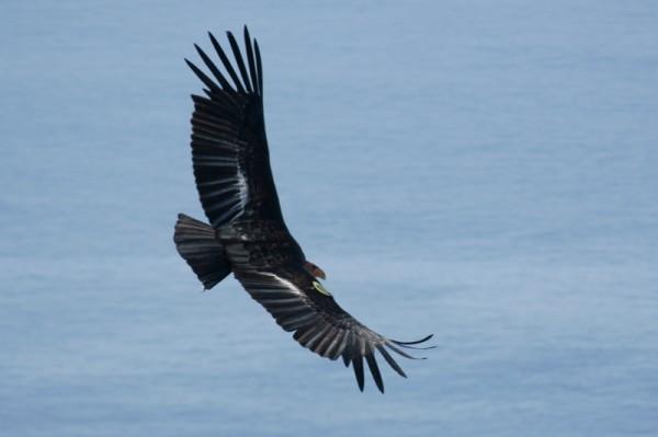 California condor in flight (photo from Wikimedia Commons)