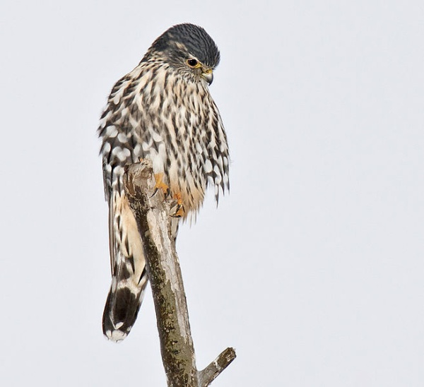 Merlin, eastern US (photo by Wm.H. Majoros via Wikimedia Commons)