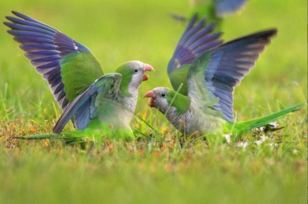 Monk parakeets in a dispute (photo by Greg Matthews courtesy NIMbios press release)