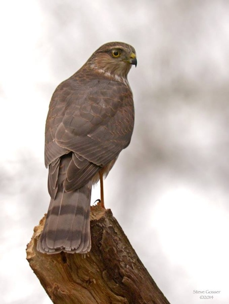 Sharp-shinned hawk atCrooked Creek, October 2014 (photo by Steve Gosser)