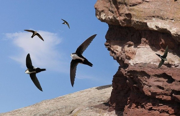 White-throated swifts (Crossley ID Guide for Eastern Birds via Wikimedia Commons)