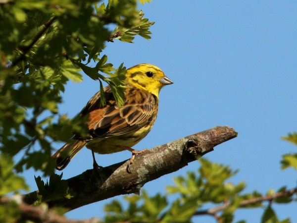 Yellowhammer, male (photo from Wikimedia Commons)