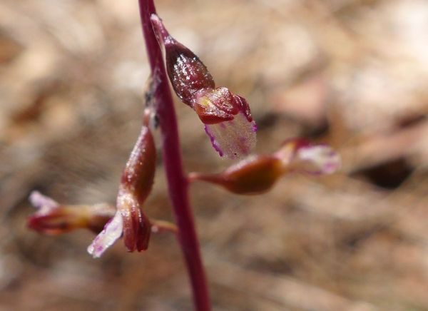 Late Coralroot, flower close-up (photo by Kate St. John)