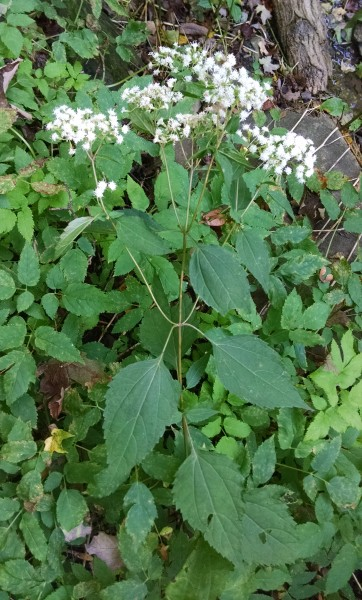 White Snakeroot in Schenley Park (photo by Kate St. John)