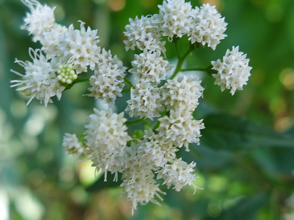 White snakeroot, flower close up (photo by Kate St. John)