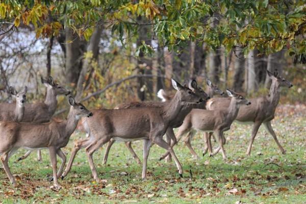 Deer in western Pennsylvania, Fall 2011 (photo by Steve Gosser)