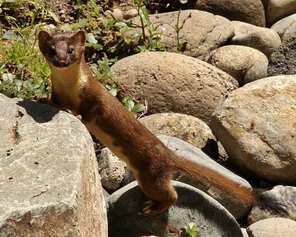 Long-tailed weasel (photo from Wikimedia Commons)