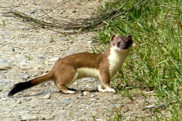 A stoat or short-tailed weasel, Mustela erminea (photo from Wikimedia Commons)