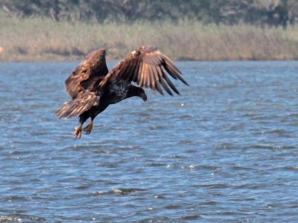 Juvenile bald eagle hunting in Florida (photo by Chuck Tague)