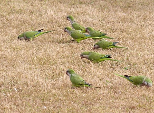 Monk parakeets near JFK airport (photo by Gintaras Baltusis)