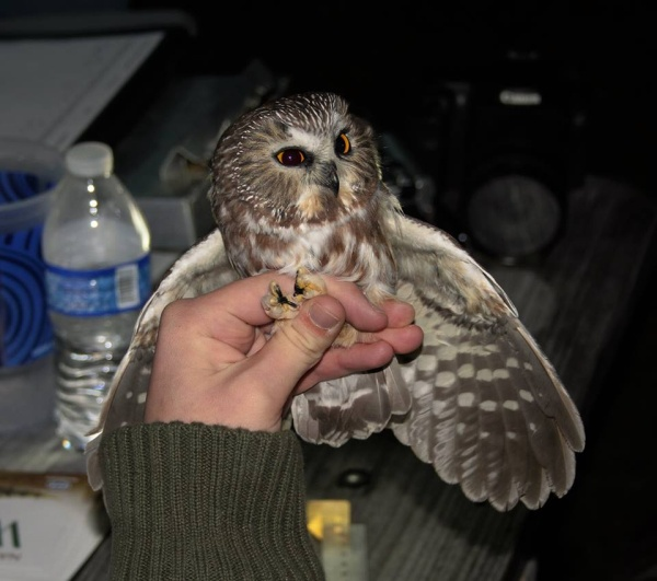 Northern Saw-whet Owl at Project OwlNet Banding, 21 Oct 2015 (photo by Doug Cunzolo)