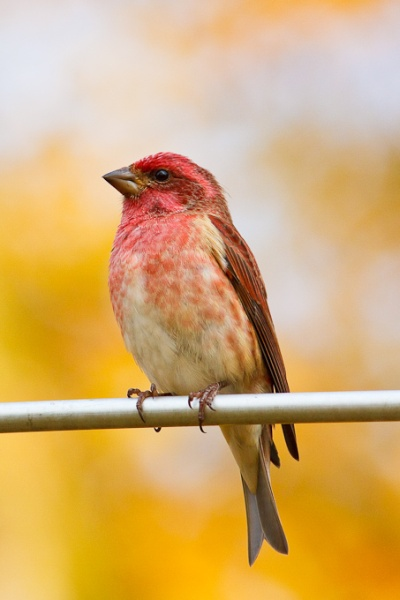 Purple finch (photo by Brian Herman)