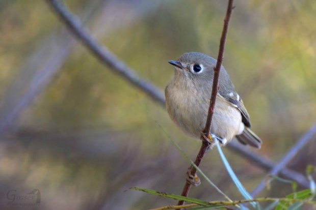 Ruby-crowned kinglet, October 2015 (photo by Steve Gosser)