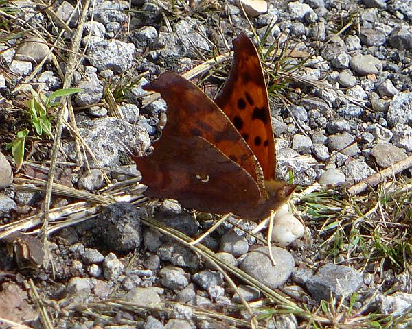 The Question Mark on the underwing (photo by Kate St. John)
