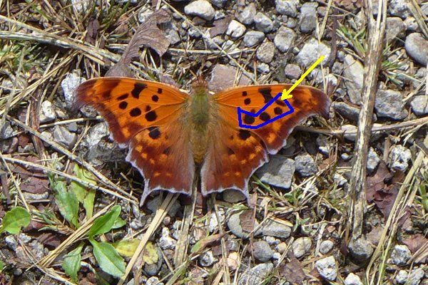 Question Mark butterfly, topside annotated (photo by Kate St. John)