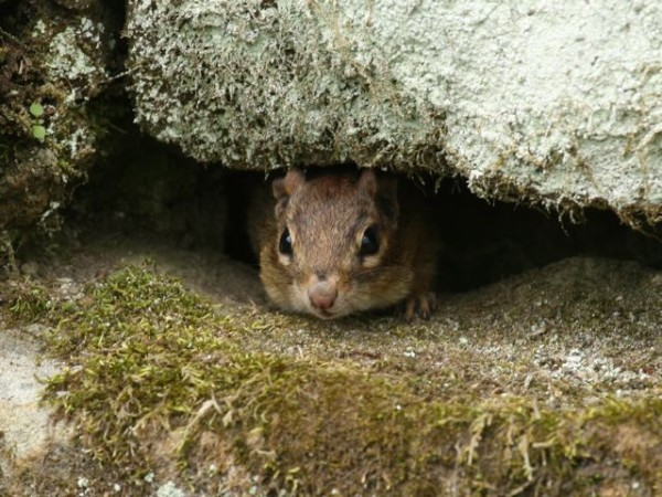 A chipmunk looks out from his burrow (photo by Chuck Tague)