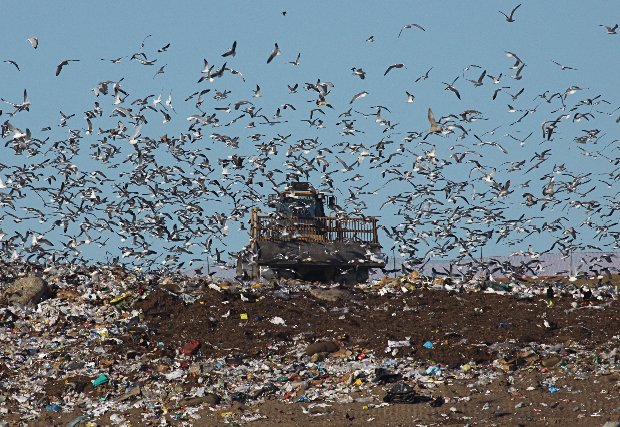 "A flock ""Down in the dumps"" at a Florida landfill (photo by Chuck Tague)"