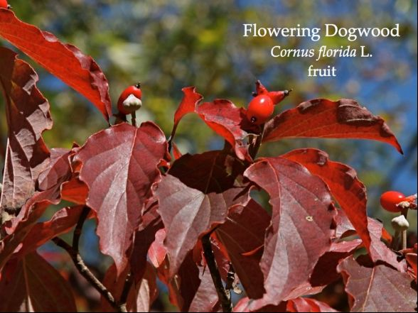 Flowering dogwood in October, annotated (photo by Chuck Tague)