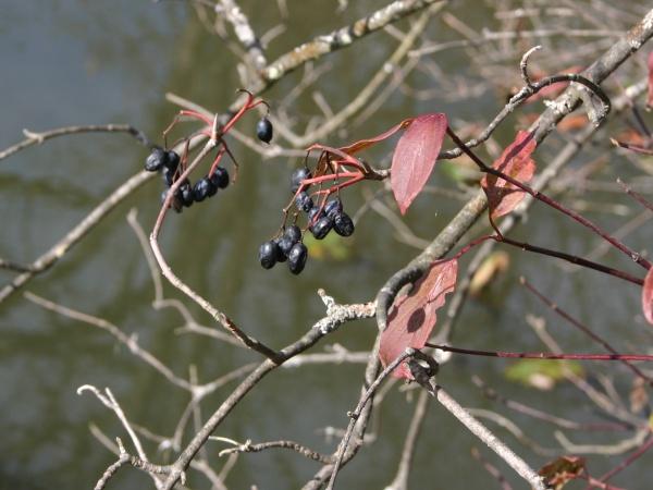Wild raisins (photo by Kate St. John)