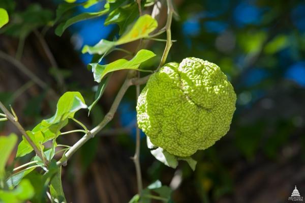 "The ""monkey ball"" fruit of the Osage Orange tree (photo from Architect of the Capitol via Wikimedia Commons)"