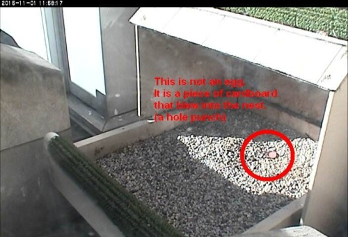 Reddish hole-punch that blew into the Pitt peregrine nest on Oct 29, 2015