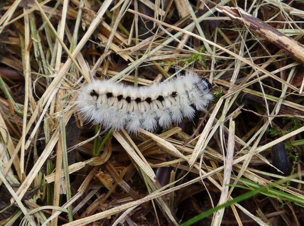 Hickory Tussock Moth (photo by Kate St. John)