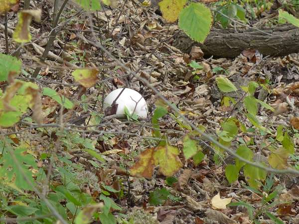 Giant puffball mushroom in Schenley Park, 18 Oct 2015 (photo by Kate St. John)