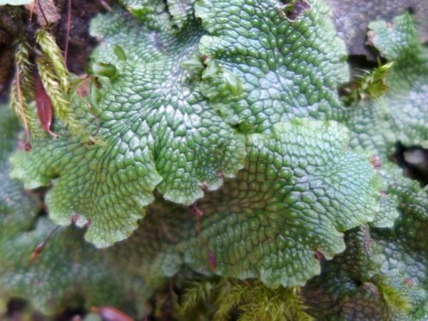 Liverwort, closeup (photo by Kate St.John)