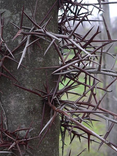 Honeylocust thorns (photo from Wikimedia Commons)