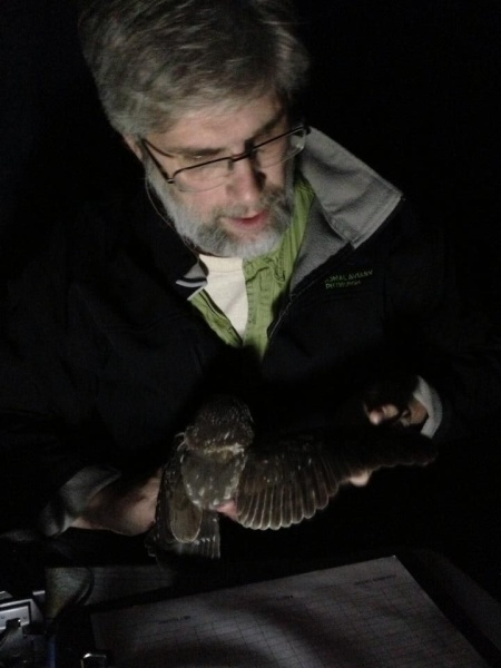 Bob Mulvihill holds a saw-whet owl for banding (photo by June Bernard)